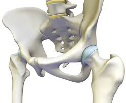 Kości stawu biodrowego